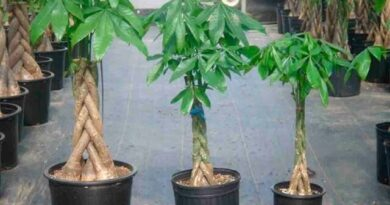 Lose Weight Market sddefault-3-390x205 Put the money tree in your home, and see what happens